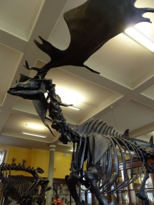 Irish Elk Skeleton
