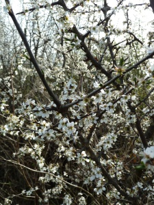 Blackthorn Blossom, Roscommon