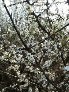 Blackthorn Blossom, Roscommon