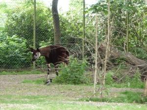 Okapi at Dublin Zoo