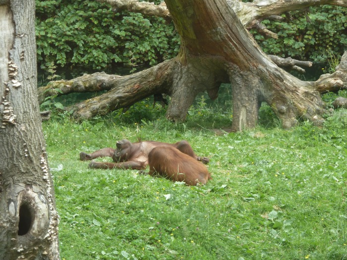 Sleepy Orangutans
