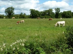 Cows in Roscommon - CrawCrafts Beasties