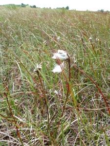 Bog Cotton, by CrawCrafts Beasties