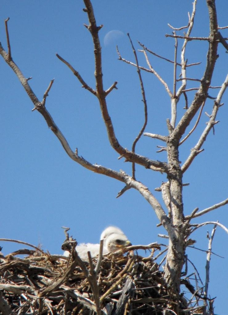 Baby Hawks in their Nest - N Couture/CrawCrafts Beasties