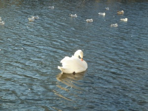 Swan and Gulls on the Grand Canal - CrawCrafts Beasties