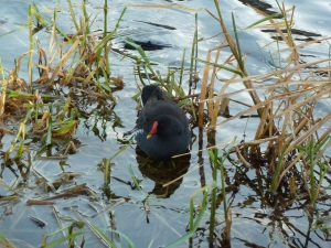 Moorhen on the Grand Canal - CrawCrafts Beasties