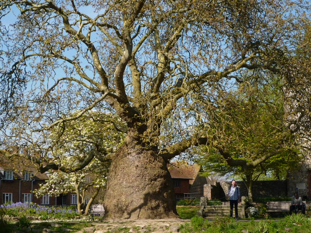 Plane Tree in Canterbury - H Crawford/CrawCrafts Beasties