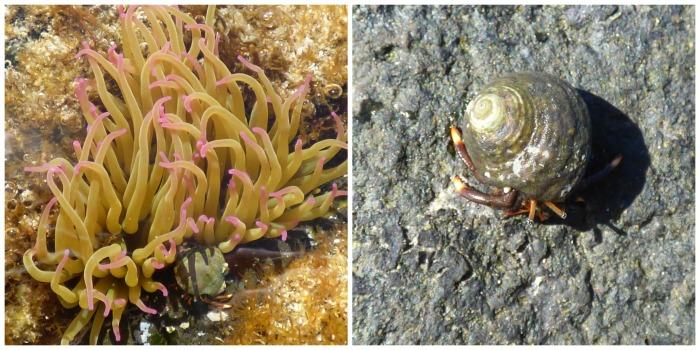 Sea Anemone and Hermit Crab - H Crawford/CrawCrafts Beasties