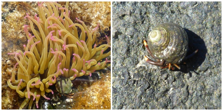 Sea Anemone and Hermit Crab - H Crawford/CrawCrafts Beasties