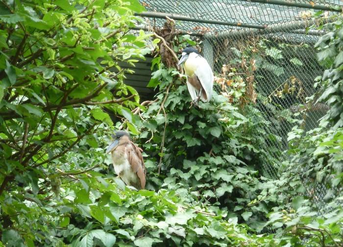 Boat Billed Herons at Frankfurt Zoo - CrawCrafts Beasties