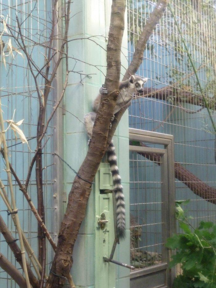 Escapee Lemur! CrawCrafts Beasties