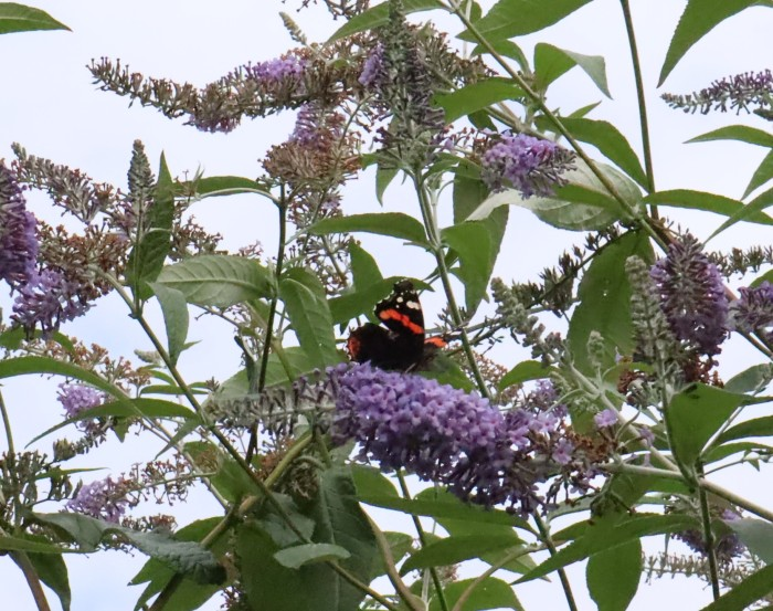 Red Admiral Butterfly at Dublin's Botanic Gardens - CrawCrafts Beasties
